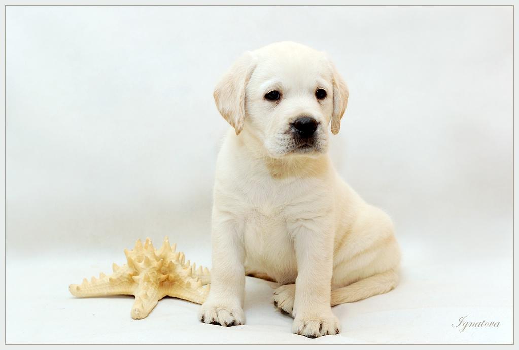 щенок фото лабрадора