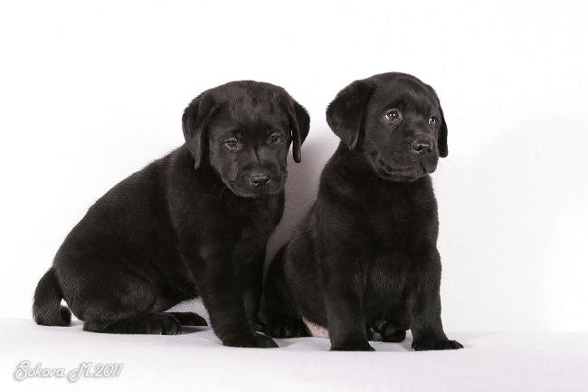 лабрадор ретривер черный фото щенки