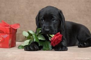 черный щенок лабрадора
